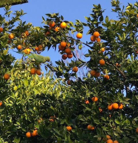 Orange trees in the Jardin del Valle, with parrots